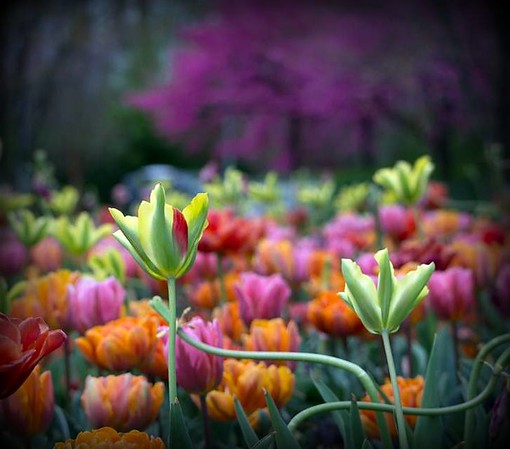 Tulips at the Indianapolis Museum of Art<br /> <br /> Photographer's Name: Allan Howell<br /> Photographer's City and State: Pendleton, Ind.