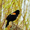 Red wing blackbird by the pond establishing his territory.<br /> <br /> Photographer's Name: Sharon Markle<br /> Photographer's City and State: Markleville, Ind.
