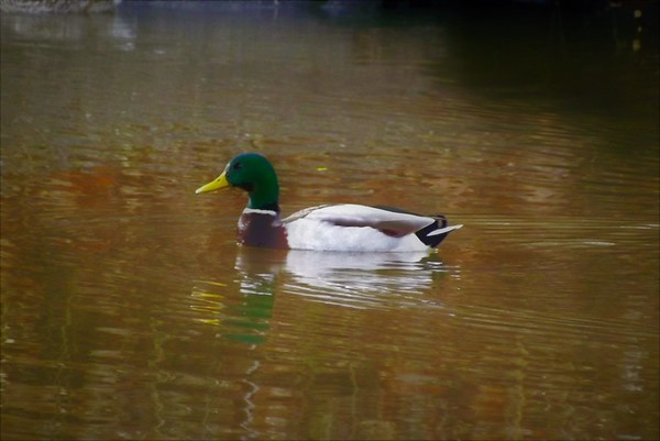Dr. Mallard...White River.<br /> <br /> Photographer's Name: J.R. Rosencrans<br /> Photographer's City and State: Alexandria, Ind.