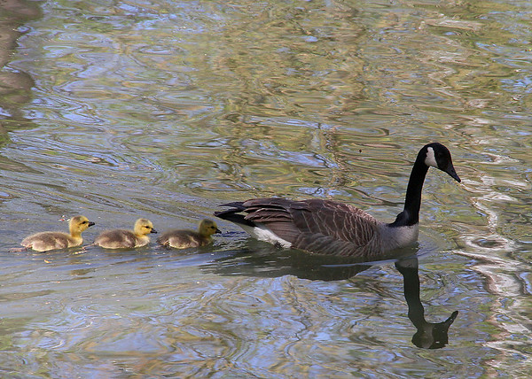 Mother Goose and the babies at Mounds Park.<br /> <br /> Photographer's Name: Jerry Byard<br /> Photographer's City and State: Anderson, Ind.