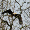 An eagle in Madison County leaves a position in the trees for a search for food in a body of water.<br /> <br /> Photographer's Name: Jerry Byard<br /> Photographer's City and State: Anderson, Ind.