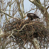 An eagle standing over its nest in Madison County and perhaps feeding some young.<br /> <br /> Photographer's Name: Jerry Byard<br /> Photographer's City and State: Anderson, Ind.