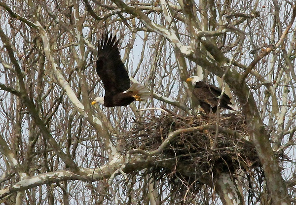 Eagle in Madison County taking a break from the nest as a backup arrives.<br /> <br /> Photographer's Name: Jerry Byard<br /> Photographer's City and State: Anderson, Ind.