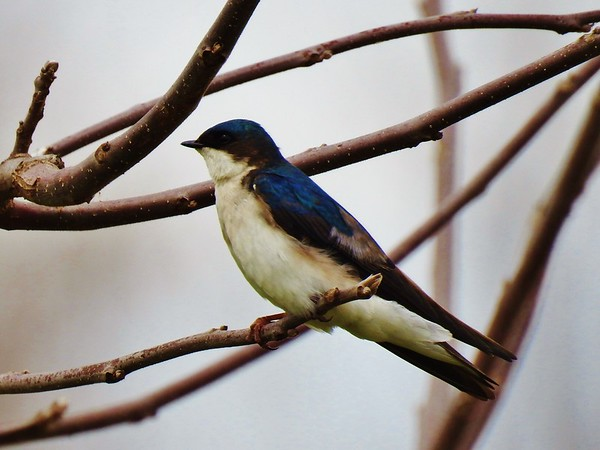 First sighting of a tree swallow returning to the nesting site by the pond.<br /> <br /> Photographer's Name: Sharon Markle<br /> Photographer's City and State: Markleville, Ind.