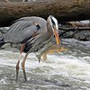 A blue heron catching dinner at Falls Park.<br /> <br /> Photographer's Name: Allan Howell<br /> Photographer's City and State: Pendleton, Ind.