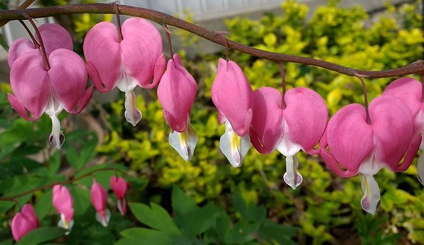 Bleeding heart blooming in my garden<br /> <br /> Photographer's Name: Debra Howell<br /> Photographer's City and State: Pendleton, Ind.