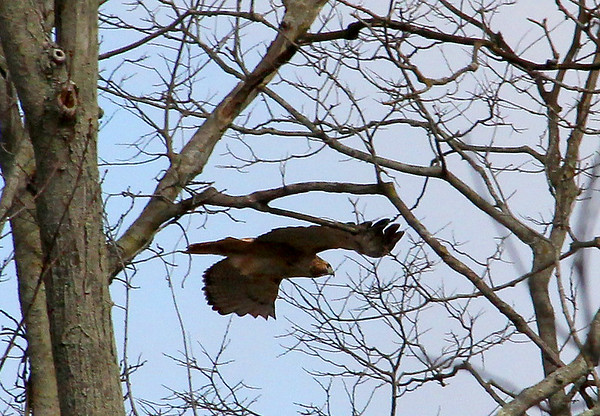 A red tail hawk in flight at Mounds Park.<br /> <br /> Photographer's Name: Jerry Byard<br /> Photographer's City and State: Anderson, Ind.