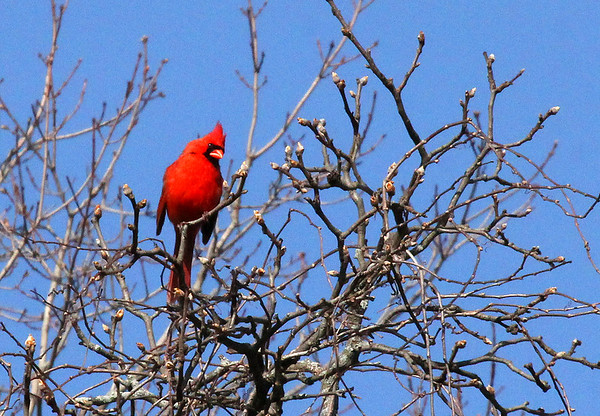 Up high in a tree a cardinal is enjoying the morning sunshine.<br /> <br /> Photographer's Name: Jerry Byard<br /> Photographer's City and State: Anderson, Ind.