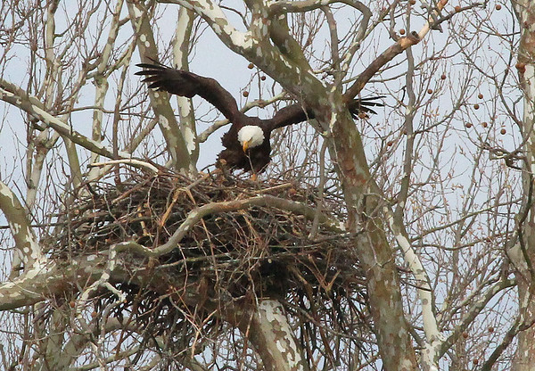 An eagle with its wings up in the Madison County area was worth waiting for.<br /> <br /> Photographer's Name: Jerry Byard<br /> Photographer's City and State: Anderson, Ind.