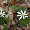 Twin bloodroot wildflowers at Mounds Park.<br /> <br /> Photographer's Name: Jerry Byard<br /> Photographer's City and State: Anderson, Ind.