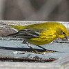 Warblers are making their way through Mounds Park as this one stopped at the feeder.<br /> <br /> Photographer's Name: Jerry Byard<br /> Photographer's City and State: Anderson, Ind.