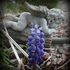 Grape hyacinth growing in my yard.<br /> <br /> Photographer's Name: Debra Howell<br /> Photographer's City and State: Pendleton, Ind.