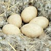 Goose eggs in nest.<br /> <br /> Photographer's Name: Rebecca Reding<br /> Photographer's City and State: Anderson, Ind.