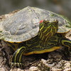 A turtle, checking the photographer out.<br /> <br /> Photographer's Name:  <br /> Photographers City and Country: ,