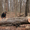 Tree work at Mounds Park involves large trees sometimes.<br /> <br /> Photographer's Name: Jerry Byard<br /> Photographer's City and State: Anderson, Ind.