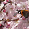 A butterfly on a late March blossoming tree at Shadyside Park.<br /> <br /> Photographer's Name: Harry Van Noy<br /> Photographer's City and State: Lafayette Township, Ind.