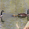 Dad and Mother Goose and the babies at Mounds Park.<br /> <br /> Photographer's Name: Jerry Byard<br /> Photographer's City and State: Anderson, Ind.