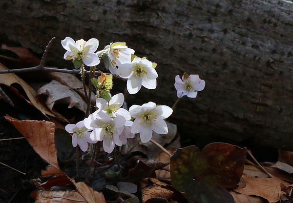 A group of white Hepatica spring flowers at Mounds Park.<br /> <br /> Photographer's Name: Jerry Byard<br /> Photographer's City and State: Anderson, Ind.