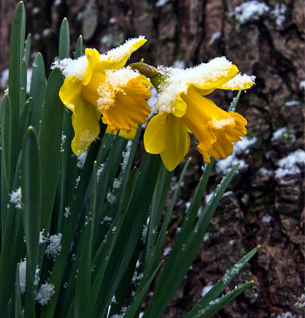 April Fools! The snow is beginning to fall on these early bloomers.<br /> <br /> Photographer's Name: Bert Happel<br /> Photographer's City and State: Anderson, Ind.