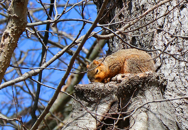 A squirrel snoozes in the afternoon sun at Mounds Park.<br /> <br /> Photographer's Name: Jerry Byard<br /> Photographer's City and State: Anderson, Ind.