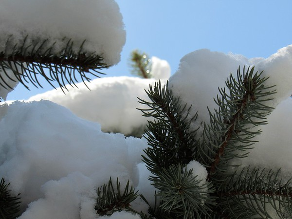 Captured snow on the evergreen, from an April spring snowstorm.<br /> <br /> Photographer's Name: Harry Van Noy<br /> Photographer's City and State: Lafayette Township, Ind.
