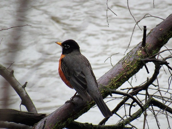 A robin looking over the flooding White River, wondering how high is the river going to get.<br /> <br /> Photographer's Name: Harry Van Noy<br /> Photographer's City and State: Lafayette Township, Ind.