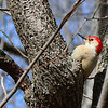 A red-bellied woodpecker at Mounds Park is working the trees above the feeders.<br /> <br /> Photographer's Name: Jerry Byard<br /> Photographer's City and State: Anderson, Ind.