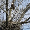 Eagle nesting at Geist.<br /> <br /> Photographer's Name: J.R. Rosencrans<br /> Photographer's City and State: Alexandria, Ind.