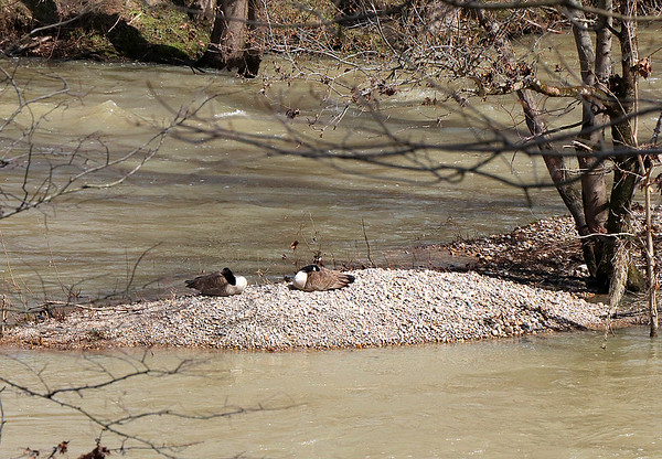Two geese on a gravel bar after the river recedes at Mounds Park. <br /> <br /> Photographer's Name: Jerry Byard<br /> Photographer's City and State: Anderson, Ind.