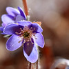 A close in look at a tiny lavender Hepatica at Mounds Park.<br /> <br /> Photographer's Name: Jerry Byard<br /> Photographer's City and State: Anderson, Ind.