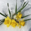 Daffodils in recent snowfall on Easter Sunday by Ray Grimball.<br /> <br /> Photographer's Name: Ray Grimball<br /> Photographer's City and State: Anderson, Ind.