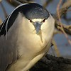A transitory black-crowned night heron checking the photographer out at Shadyside Lake.<br /> <br /> Photographer's Name: Harry Van Noy<br /> Photographer's City and State: Lafayette Township, Ind.