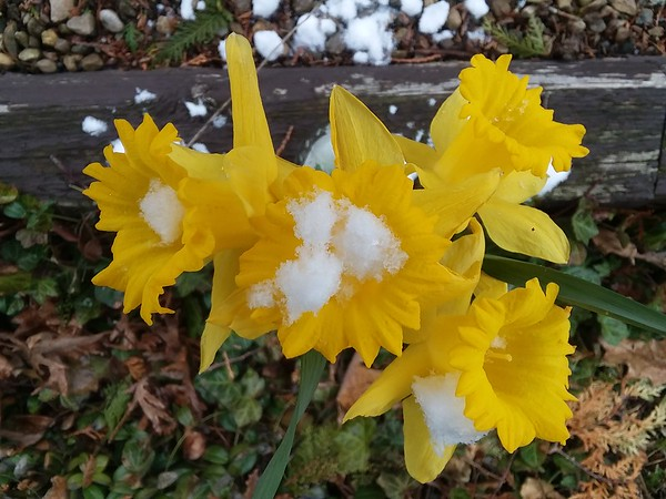Beautiful daffodils trying to survive hopefully a last winter snow.<br /> <br /> Photographer's Name: Pete Dodd<br /> Photographer's City and State: Anderson, Ind.