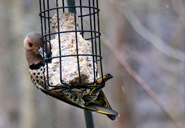 A Northern Flicker feeding on the suet at Mounds Park.<br /> <br /> Photographer's Name: Jerry Byard<br /> Photographer's City and State: Anderson, Ind.