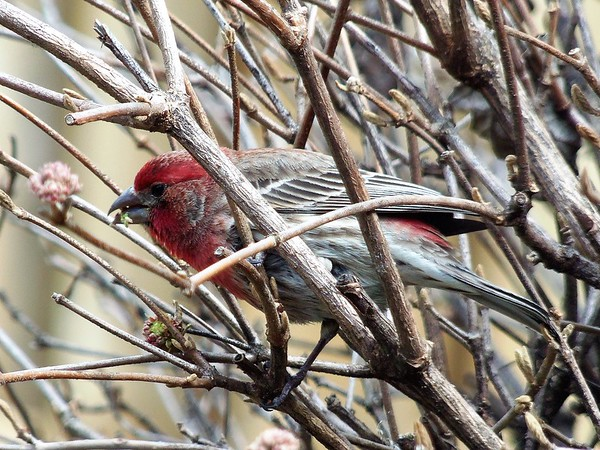 House finch feeding in the bushes.<br /> <br /> Photographer's Name: H.A. Pease<br /> Photographer's City and State: Anderson, Ind.