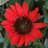 Red Flower<br /> <br /> Photographer's Name: Philip Ballinger<br /> Photographer's City and State: Anderson, IN