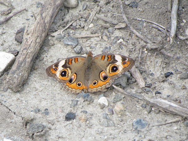 Buckeye butterfly.<br /> <br /> Photographer's Name: Brian Fox<br /> Photographer's City and State: Anderson, Ind.