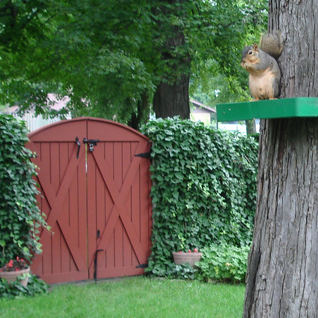 Dinner time for Mr. Squirrel in the Fischer garden, Anderson.<br /> <br /> Photographer's Name: Joyce Fischer<br /> Photographer's City and State: Anderson, Ind.