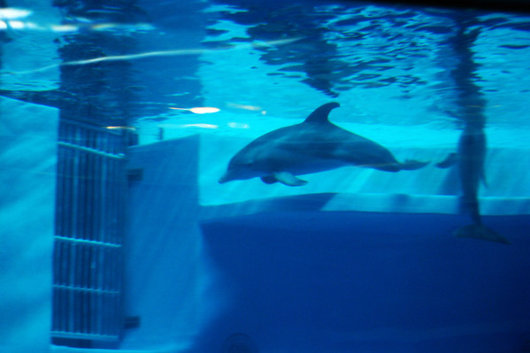A dolphin at the Indianapolis Zoo.<br /> <br /> Photographer's Name: Morgan Elbert<br /> Photographer's City and State: Alexandria, Ind.