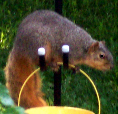 Close up squirrel in Elwood.<br /> <br /> Photographer's Name: Michelle Estelle<br /> Photographer's City and State: Marion, Ind.