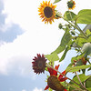 Sunflower power.<br /> <br /> Photographer's Name: Amber Ryder<br /> Photographer's City and State: Daleville, Ind.