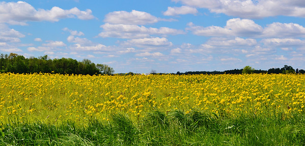 Taken on West 8th Street Road this past spring....a sea of yellow.<br /> <br /> Photographer's Name: Colleen Sanders-Brown<br /> Photographer's City and State: Anderson, Ind.