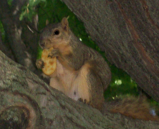 Squirrel in Mom's tree <br /> <br /> Photographer's Name: Michelle Estelle<br /> Photographer's City and State: Marion, IN