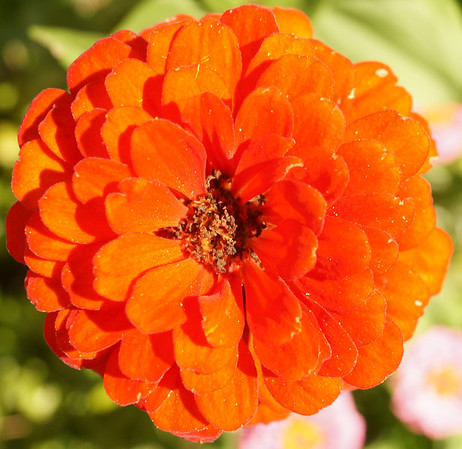 zinnia from my garden<br /> <br /> Photographer's Name: Philip Ballinger<br /> Photographer's City and State: Anderson, IN