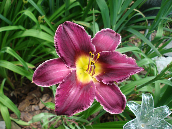 A burgundy day lily in the garden of Joyce Fischer, Anderson.<br /> <br /> Photographer's Name: Joyce Fischer<br /> Photographer's City and State: Anderson, Ind.