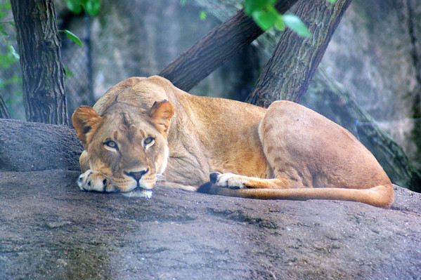 A lion resting on a rock at the Indianapolis Zoo.<br /> <br /> Photographer's Name: Morgan Elbert<br /> Photographer's City and State: Alexandria, Ind.