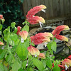 A shrimp plant in the garden of Joyce Fischer.<br /> <br /> Photographer's Name: Joyce Fischer<br /> Photographer's City and State: Anderson, Ind.