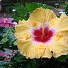 An exotic tropical hibiscus in the garden of Joyce Fischer, Anderson.<br /> <br /> Photographer's Name: Joyce Fischer<br /> Photographer's City and State: Anderson, Ind.