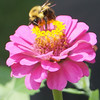 Bee Pollinating a zinnia<br /> <br /> Photographer's Name: Philip Ballinger<br /> Photographer's City and State: Anderson, IN