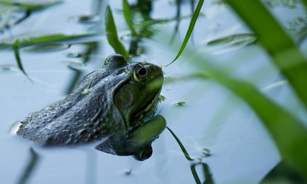 A frog in a pond in Anderson.<br /> <br /> Photographer's Name: Ashley Pett<br /> Photographer's City and State: Alexandria, Ind.